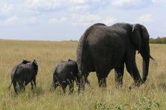 African elephant, Loxodonta africana, family grazing in savannah in sunny day. Massai Mara Park, Kenya, Africa. African elephant, Loxodonta africana, family royalty free stock photos