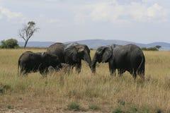 African elephant, Loxodonta africana, family grazing in savannah in sunny day. Massai Mara Park, Kenya, Africa. African elephant, Loxodonta africana, family royalty free stock image