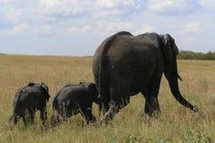 African elephant, Loxodonta africana, family grazing in savannah in sunny day. Massai Mara Park, Kenya, Africa. African elephant, Loxodonta africana, family royalty free stock photo