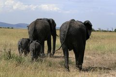African elephant, Loxodonta africana, family grazing in savannah in sunny day. Massai Mara Park, Kenya, Africa. African elephant, Loxodonta africana, family stock images