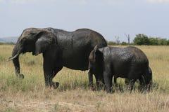 African elephant, Loxodonta africana, family grazing in savannah in sunny day. Massai Mara Park, Kenya, Africa. African elephant, Loxodonta africana, family stock photography