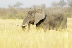 African Elephant bull on savannah. African Elephant Loxodonta africana, feeding bull on savanna, Kruger national park, South Africa Royalty Free Stock Images