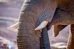 African Elephant Loxodonta Africana feeding time at the zoo Royalty Free Stock Photography