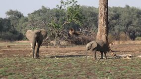 The African elephant Loxodonta africana female and baby in the bush in South Luangwa, Zambia.