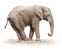 African elephant. Stock Photo
