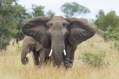 African Elephant (Loxodonta africana) female with young, South A. A female African Elephant (Loxodonta africana) with her calf, in South Africa's Kruger Park Royalty Free Stock Image