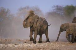 African elephant, Loxodonta africana Stock Photography