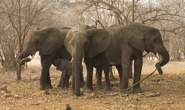 African elephant (Loxodonta africana) herd. African elephant (Loxodonta africana) small herd of three cows and one calf Stock Photo