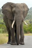 African bush elephants (Loxodonta africana). African Elephant (loxodonta africana) walking in the road in Kruger National Park, South Africa royalty free stock images