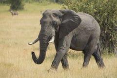 African Elephant (Loxodonta africana) Mala Mala Game Reserve Sou Royalty Free Stock Images