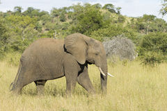 African Elephant (Loxodonta africana) Mala Mala Game Reserve Sou Royalty Free Stock Photo