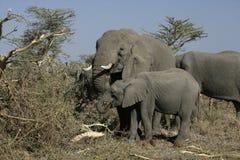African elephant, Loxodonta africana Stock Photo