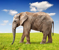 African elephant. (Loxodonta Africana) on meadow Royalty Free Stock Images