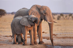 African Elephant (Loxodonta africana) mom with young Stock Photos