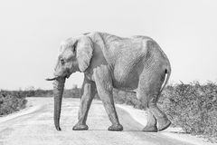 Monochrome African elephant, covered with white calcrete dust. An African elephant, Loxodonta africana in monochrome, walking across a road in Northern Namibia royalty free stock photos