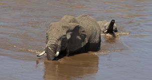 African Elephant, loxodonta africana, Mother and Calf crossing River, Masai Mara Park in Kenya,. Real Time 4K stock footage