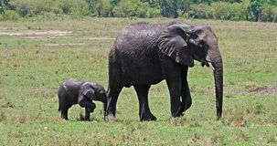 African Elephant, loxodonta africana, Mother and calf, Masai Mara Park in Kenya,. Real Time 4K stock video footage