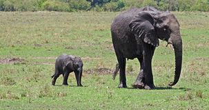 African Elephant, loxodonta africana, Mother and Calf, Masai Mara Park in Kenya,. Real Time 4K stock footage