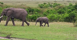 African Elephant, loxodonta africana, Mother and Calf walking, Masai Mara Park in Kenya,. Real Time 4K stock video footage