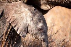 African Elephant (Loxodonta africana). Portrait of a young African Elephant (Loxodonta africana Royalty Free Stock Images