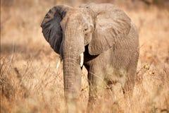 African Elephant (Loxodonta africana). In the African savanna Royalty Free Stock Photos