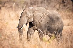 African Elephant (Loxodonta africana). In the African savanna Stock Photography