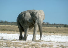 African elephant, Loxodonta africana Royalty Free Stock Photo
