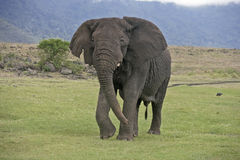 African elephant, Loxodonta africana Stock Photos