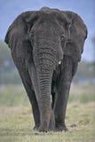 African elephant, Loxodonta africana Royalty Free Stock Images