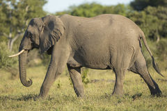 African Elephant (Loxodonta africana) Sou Stock Photo
