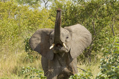 African Elephant (Loxodonta africana)  South Africa Stock Photography
