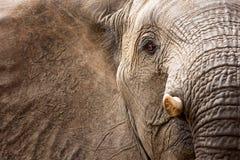 African elephant (Loxodonta africana) royalty free stock photos