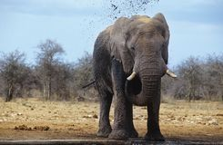 African Elephant (Loxodonta Africana) squirting mud on savannah Stock Image