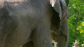 African Elephant (Loxodonta Africana) stock video footage