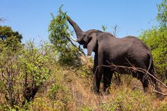 African elephant, Loxodonta africana, she tears off the leaves of bushes, Namibia Royalty Free Stock Photography