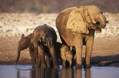 African Elephant (Loxodonta Africana) with three young at waterhole Stock Photography