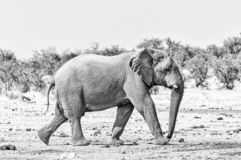 African elephant walking. Monochrome stock photography