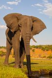 African elephant, Loxodonta africana, the water Chobe, Namibia Stock Images