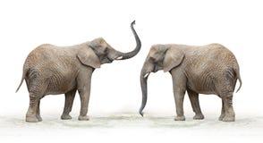 African elephant (Loxodonta africana). Royalty Free Stock Photo