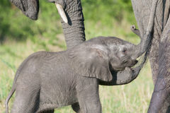 African Elephant (Loxodonta africana). Young behind mother and protected by family trunk, Serengeti national park, Tanzania stock image