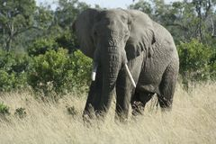 African Elephant {Loxodonta Africans}. stock images