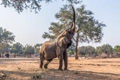 African Elephant (Loxodonta) Eating Royalty Free Stock Images