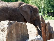 African elephant standing by rocks royalty free stock photography