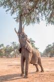 African Elephant (Loxodonta) Stock Photography