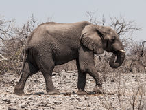 African elephant (Loxodonta). Walks in the bush (Chobe National Park, Botswana stock image