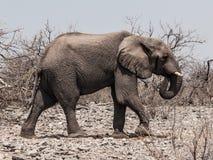 African elephant (Loxodonta) Stock Image