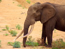 African elephant. With magnificent tusks Royalty Free Stock Image