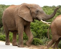 Free African Elephant Male Royalty Free Stock Photo - 8125325
