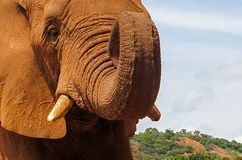 12 African Elephant male close encounter sanctuary head stock images