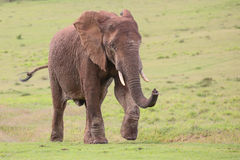 African Elephant Male Stock Photography